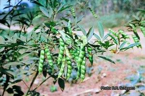 photfile-images_cajanus-cajan-01-rrs-kacanggude